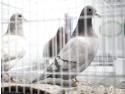 Despre magazinul ce rasfata porumbeii crest