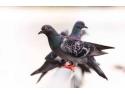 imunitate porumbei. Porumbei