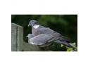 imunitate porumbei. produsecolumbofile.ro