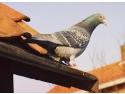 Produse columbofile pentru sustinerea proceselor metabolice ale porumbeilor