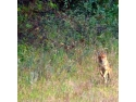 revelion 2011. sacal auriu fotografiat in Padurea Cioflecu in studiul preliminar din octombrie, Orizont 2010 .Foto: Silviu Matei