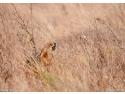 managementul ecosistemelor specifice sacalului. Sacal auriu in Delta Dunarii, actiunea Anubis 2011 de monitorizare si studii preliminare. Foto Miha KROFEL