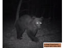 vanatoare . Urs brun inregistrat langa Vurpar Sibiu cu camera cu senzor de miscare, Departamentul de Ecologie ONG Crispus Sibiu in 2015