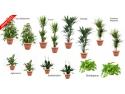 plante la ghiveci. pachet plante decorative pentru birouri GOLD
