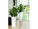 tapet decorativ cu dungi. plante-decorative-birou-spatiphyllium