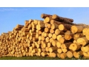 Paulownia - Arborele Miraculos care creste intr-un an cat altii in zece dosar dauna