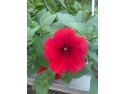 Cumpara flori la ghiveci de la Biosolaris-producator de flori, la cele mai mici preturi!