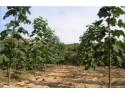 seminte paulownia. Infiintare plantatie paulownia – profit garantat, cu minim de investitii!