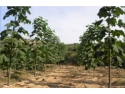 Infiintare plantatie paulownia – profit garantat, cu minim de investitii!