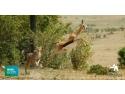 """the beatthiefs. Muzeul Național de Istorie Naturală """"Grigore Antipa"""" si BBC Earth vă invită la proiecția gratuită a documentarului The Hunt"""