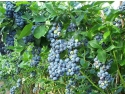 timbre fructe. planta de afin cu fructe