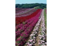 In fiecare an, creatorul de trandafiri Meilland International realizeaza intre 5 si 8.000 de hibridizari noi (foto: Meilland International)