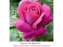 trandafiri. Cum Ingrijim Trandafirii de Gradină in Septembrie?