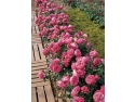 trandafiri. Leonardo da Vinci - Un trandafir exceptional cu forma romantica si un parfum discret si o culoare roz Bengalez.