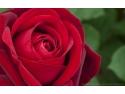 florarie online premium. Trandafiri de Gradina