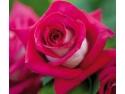 Colectia Noua 2012 - 2013   Trandafiri cu Floari Mari   Trandafiri cu Flori Grupate. Monica Bellucci -> Trandafir de Gradina Celebru