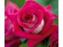 Monica Bellucci -> Trandafir de Gradina Celebru