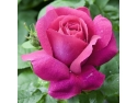 paltoane vivo collection. Caprice De Meilland ::  Large Flowers Rose
