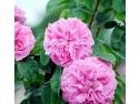 trandafirul de damasc. Trandafiri de dulceata ( Rosa Damascena)