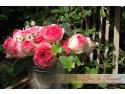 trandafiri grdina butasi. Pierre de Ronsard este trandafirul supranumit