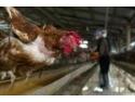 Pretul carnii: gripa aviara