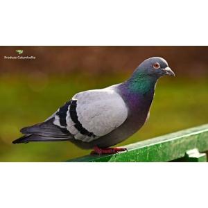 Produsecolumbofile.ro, universul produselor special dedicate columbofililor si porumbeilor