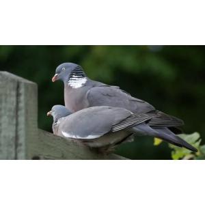 Vitaminele - suplimente necesare pentru dezvoltarea porumbeilor