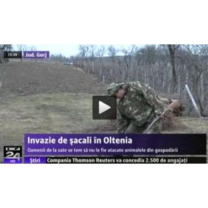 Sacalii sunt atacati la DIGI 24 TV, monitorizarea speciei nu se face avand in vedere impactul socio-economic si human-wildlife conflict in fondurile de vanatoare