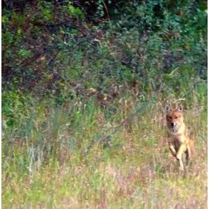 sacalul auriu. sacal auriu fotografiat in Padurea Cioflecu in studiul preliminar din octombrie, Orizont 2010 .Foto: Silviu Matei