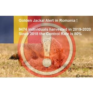 Managementul letal la hilac sau sacal auriu nu pare a fi o solutie de succes pentru exterminarea acestuia