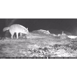 Canis aureus moreoticus. Letea, aprilie 2021