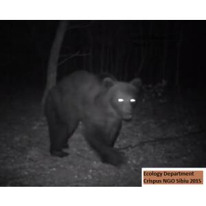 Urs brun inregistrat langa Vurpar Sibiu cu camera cu senzor de miscare, Departamentul de Ecologie ONG Crispus Sibiu in 2015
