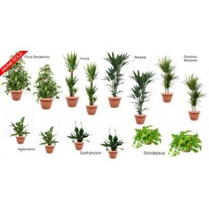 decizii fara risc . pachet plante decorative pentru birouri GOLD