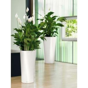 plante-decorative-birou-spatiphyllium