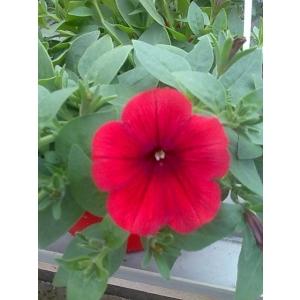 la mignonne. Cumpara flori la ghiveci de la Biosolaris-producator de flori, la cele mai mici preturi!