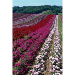 trandafir. In fiecare an, creatorul de trandafiri Meilland International realizeaza intre 5 si 8.000 de hibridizari noi (foto: Meilland International)