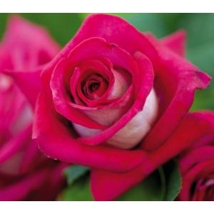 FERTILIZAREA TRANDAFIRILOR. Monica Bellucci -> Trandafir de Gradina Celebru