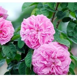 Trandafiri de dulceata ( Rosa Damascena)