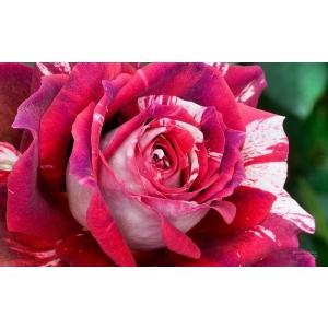 trandafirul de kazanlak. Trandafirul de Gradina Julio Iglesias