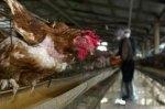 industria carnii. Pretul carnii: gripa aviara