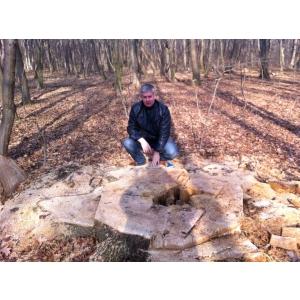 defrisari. Stejar multisecular taiat in Zona Snagov